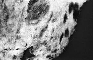 Michael Hoepner, Lie down, get up, walk on (snowleopard), 2015, dettaglio